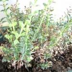 Friss borsikafű
